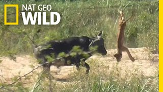 Buffalo Tosses a Lion Cub Into the Air | Nat Geo Wild by Nat Geo WILD