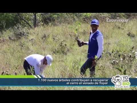 1.100 nuevos árboles contribuyen a recuperar el cerro el venado de Yopal