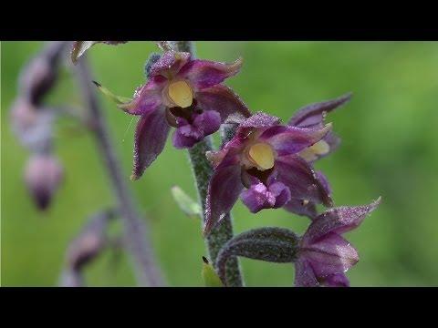 Heimische Orchideen: Orchideen Thüster Berg (Niedersach ...