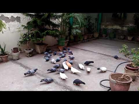 Video Jangli Kabootar ko Bnae Paltu Badiya Dana khila kr download in MP3, 3GP, MP4, WEBM, AVI, FLV January 2017
