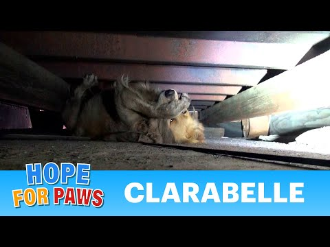 A scared Golden Retriever panics during her rescue.