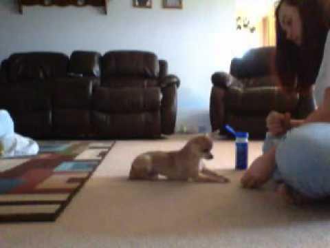 Teacup Chihuahua Tricks