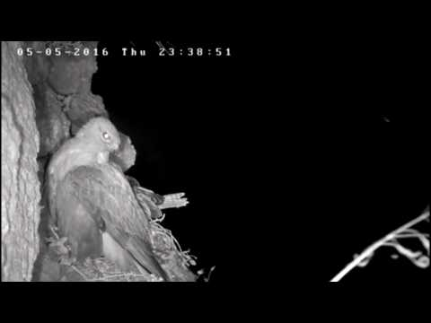 Riistakamera tallentaa pöllön yöllisen hyökkäyksen