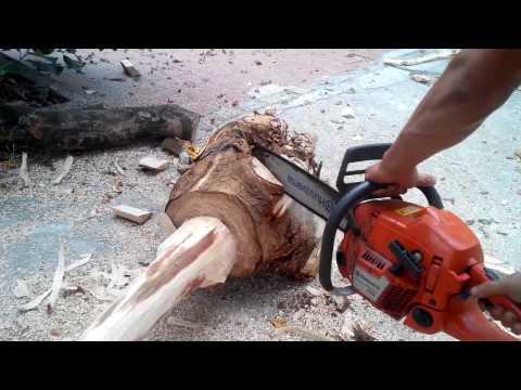 Thu hoạch vườn cây gỗ sưa 13 tuổi, thu mua cây sưa 096 8567238 GOSUADO.COM - Thời lượng: 5:23.
