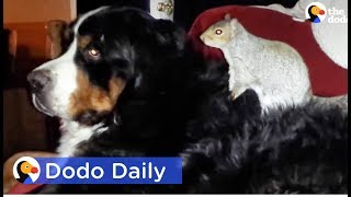 Squirrel Buries Nuts In Dog Best Friend's Fur: Best Animal Videos | The Dodo Daily
