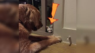 Video Kitten Raised By A Golden Retriever Now Thinks It's Actually A Dog MP3, 3GP, MP4, WEBM, AVI, FLV Januari 2019