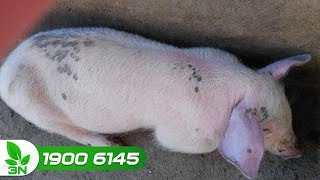 Chăn nuôi lợn | Phác đồ điều trị bệnh tai xanh ghép nhiễm khuẩn kế phát ở lợn