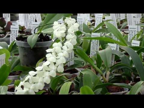 Orchideen Arten: Aerangis citrata