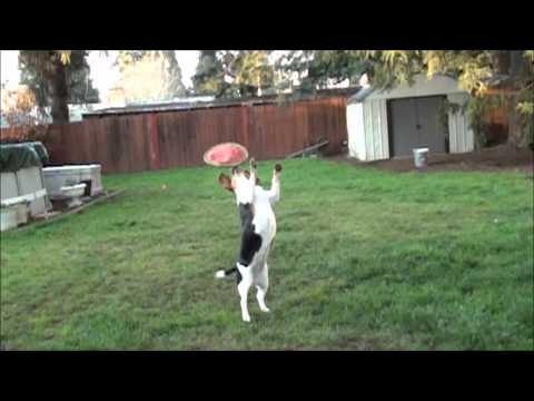 beagle: frisbee training!