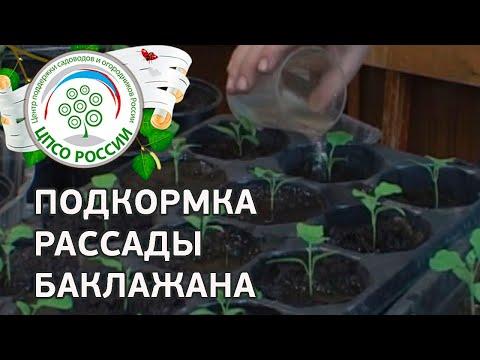 Как и чем подкормить баклажаны. Выращиваем баклажаны.