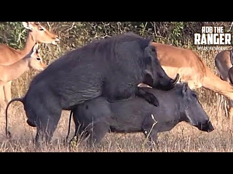 Video WILDlife: Warthogs Do It Piggy Style! download in MP3, 3GP, MP4, WEBM, AVI, FLV January 2017