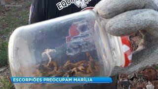 Escorpiões têm preocupado moradores de Marília