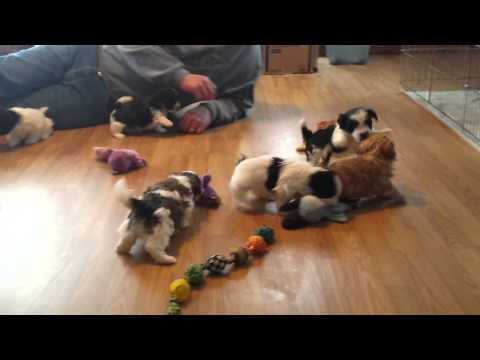 RiverHill Havanese puppies spring 2015