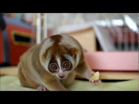 Ytterligare en söt Slow Loris som nu käkar banan