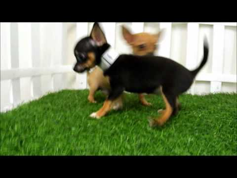 San Diego Puppy Teacup Chihuahua Puppies For Sale San Diego