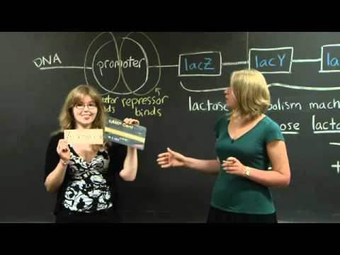 Lac operon   MIT 7.01SC Fundamentals of Biology
