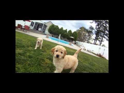 Golden Doodle Puppies Playing 1080p GOPRO HD