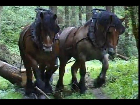 Tässä belgialaisessa metsässä jylläävät vielä todelliset hevosvoimat