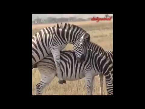 Zebra Mating compilation 2019 - Zebra breeding (1/3)