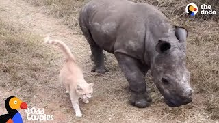 Cat and Baby Rhino are Best Friends | The Dodo Odd Couples by The Dodo
