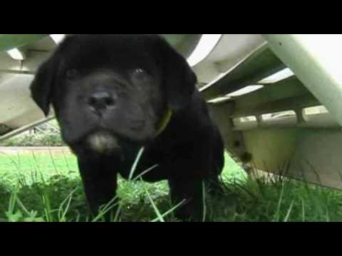 Vendita cuccioli di cane corso