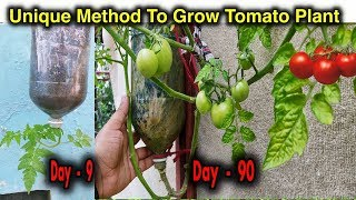Video Best Method To Grow Tomato Plant in Plastic Hanging Bottle ll Vertical Gardening ll No Space Garden MP3, 3GP, MP4, WEBM, AVI, FLV Maret 2019