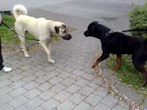 Rottweiler vs. Kangal  -Dangerous Meeting-