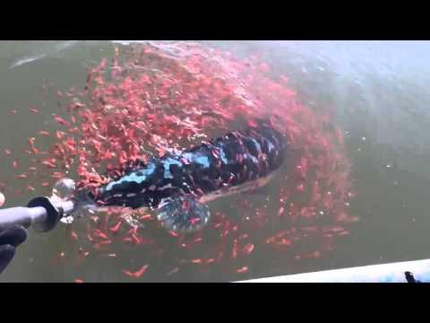 「放開我媽媽!」 母魚上鉤魚群圍繞即刻救援 直接拉下水