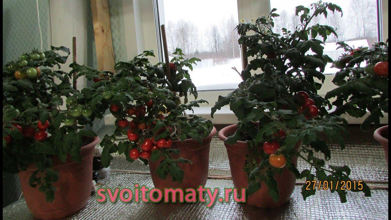 Смотреть онлайн:  Комнатные томаты  Выращивание томатов зимой