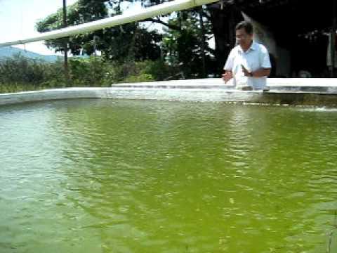 Acuicultura tilapia peru videos videos relacionados for Criadero de pescado tilapia