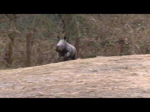 Arnheim/Niederlande: Nashorn-Nachwuchs im Zoo
