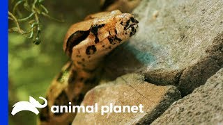 Four Rescued Snakes Get An Insane Jungle Enclosure | Animal Cribs by Animal Planet