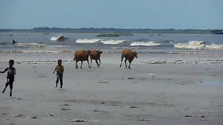 Video ombak bono hari ini 29 april 2018 | video unik beberapa ekor sapi berlarian dekejar ombak bono MP3, 3GP, MP4, WEBM, AVI, FLV September 2018