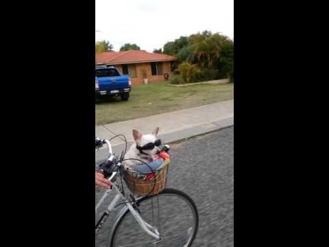 Koira istuu pyörän korissa ja matkii ambulanssia