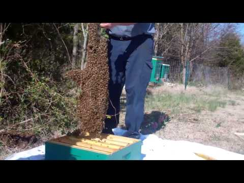 March Swarm 2013 at Rivera Apiary