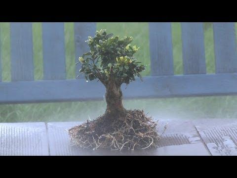 buchsbaum buxus boxwood schneiden zum bonsai cutting. Black Bedroom Furniture Sets. Home Design Ideas