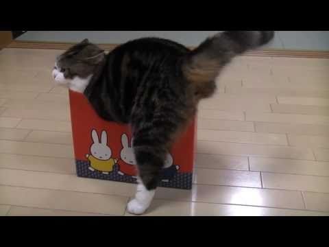 Maru A Fat Cat In A Small Box