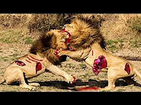 Bloody Fight, Lion VS Lion, To Decide Whose The Boss?