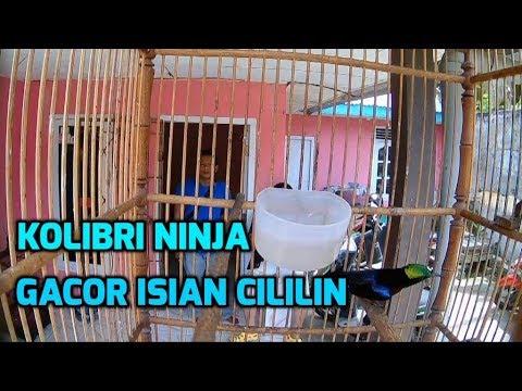 Kolibri Ninja Nembak Cililin