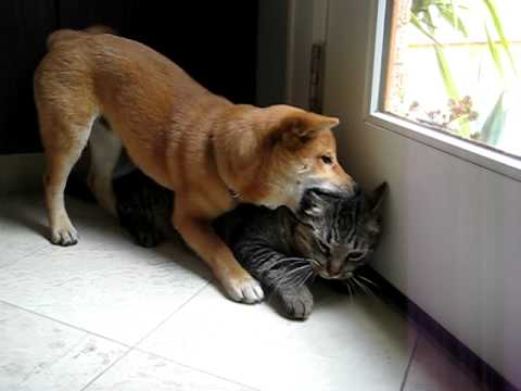 a little shiba inu playing with a cat