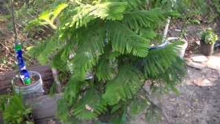 Norfolk Island Pine Tree Araucaria heterophylla From Wikipedia, the free encyclopedia Araucaria heterophylla (synonym A. excelsa) is a distinctive conifer, a...