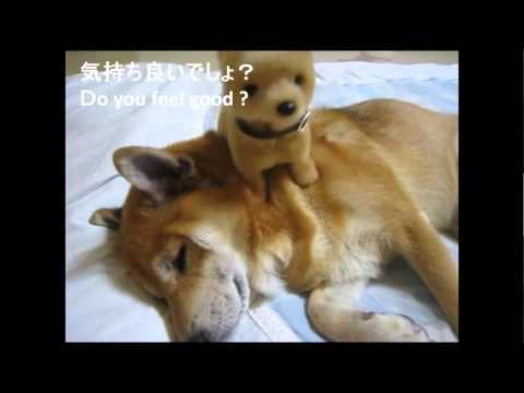 Chihuahua Funny Videos