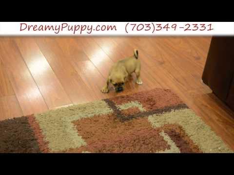 Stunning Puggle Male Puppy 3