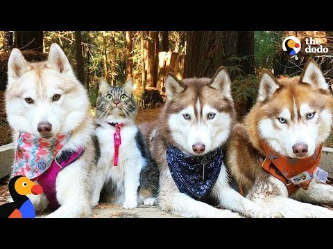 Cat Leads Her Pack Of Husky Dogs | The Dodo (видео)
