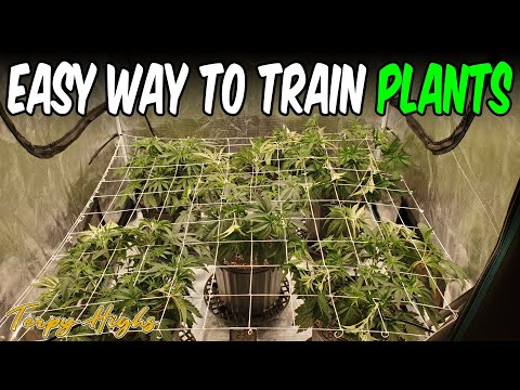 Growing PINK KUSH WEED In a 4x4 GROW TENT Indoor MADE EASY! Under FC4800 Light