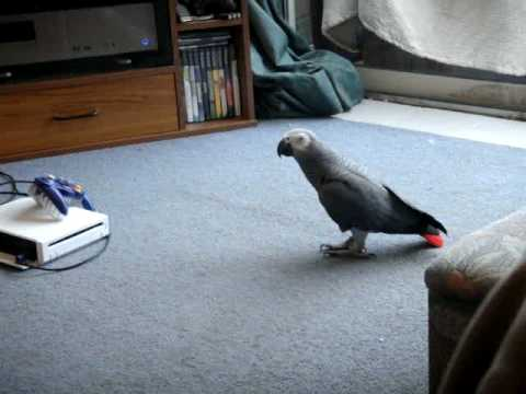 Vince The Ground Parrot