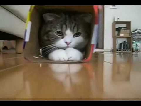 Seen - Maru might possibly be the funniest cat ever born. He has no inhibitions, no worries, & finds fun in everything he does. Check him out, & find the rest of hi...