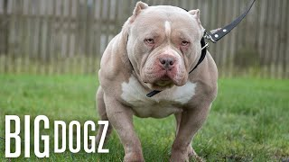 Meet Dios: The Bully Built Like A Bodybuilder | BIG DOGZ by Barcroft Animals