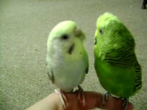 My Birds Parakeets Chirping Singing Kissing
