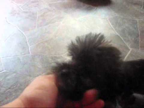 Adorable shorkie puppies, some say tiny shorkie tzu puppies